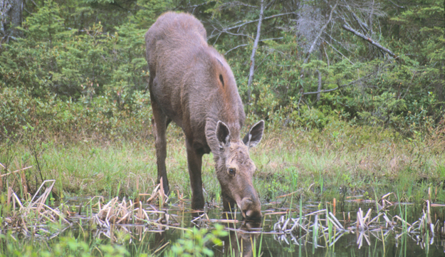 "Did you know that Newberry is the official ""Moose Capital of the State of Michigan""?  Moose are very elusive creatures, but most sightings of area moose (within Luce County and Newberry MI) occur in the Tahquamenon State Park. The area and terrain is immense and a perfect setting for the lifestyle of the moose."